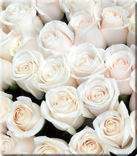 венделла роза фото